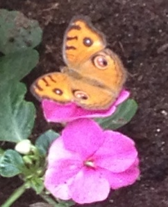 orange butterly on pink flower